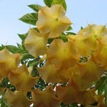 Дурман, или Датура с жёлтыми цветками