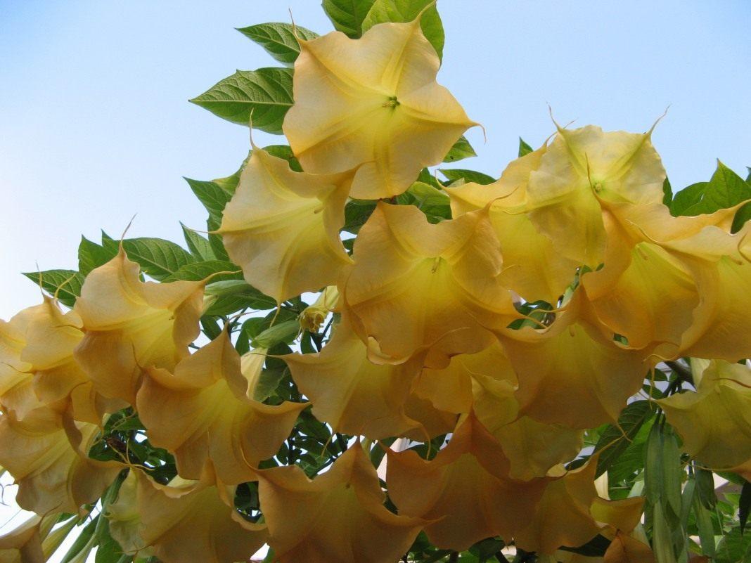 Дурман цветок желтый фото и описание