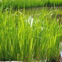 Аир обыкновенный, также — болотный, тростниковый, или Ирный корень