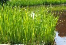 Аир болотный, или Аир обыкновенный
