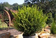Декоративные горшечные растения для терасс и патио