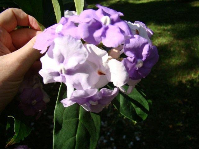 Брунфельсия крупноцветковая (лаБрунфельсия крупноцветковая (Brunfelsia grandiflora)т. Brunfelsia grandiflora)