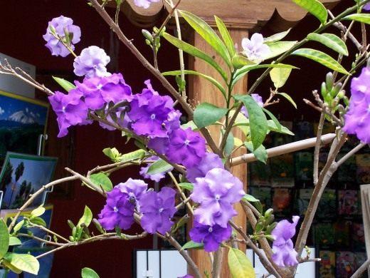 Брунфельсия малоцветковая (Brunfelsia pauciflora)