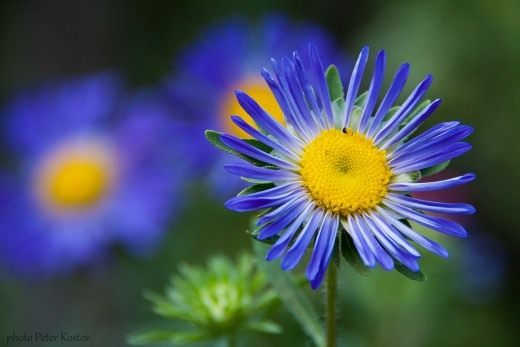 Астра (Aster)