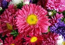 Цветы «Астра»