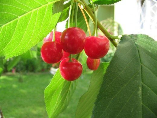 Вишня (Cherry)