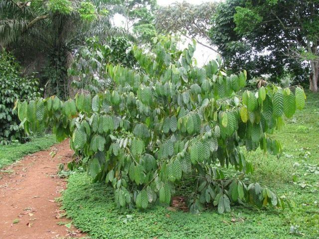 Деревце коулы съедобной, или африканского грецкого ореха (Coula edulis)