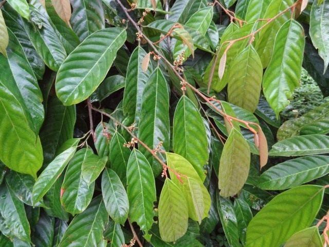Листья коулы съедобной, или африканского грецкого ореха (Coula edulis)