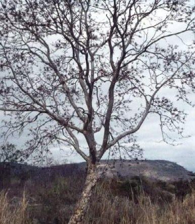 Африканский орех фото
