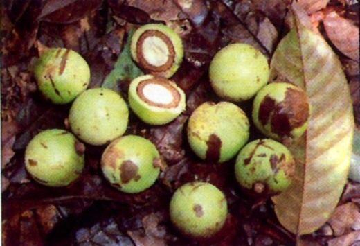 Африканский грецкий орех