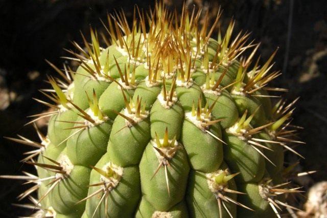 Эхинопсис чилийский