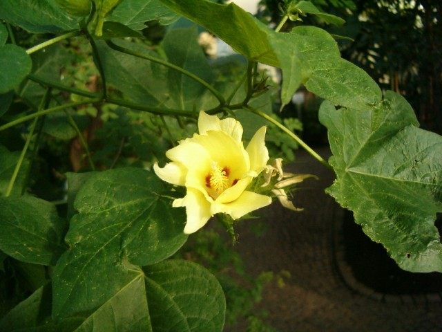 Цветок хлопчатника