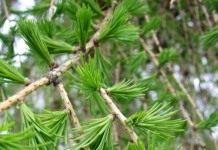"""""""Вечное"""" дерево – лиственница"""