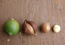Макадамия, или Австралийский орех