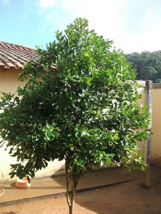 Дерево макадамия — австралийский орех, или киндаль (Macadamia)