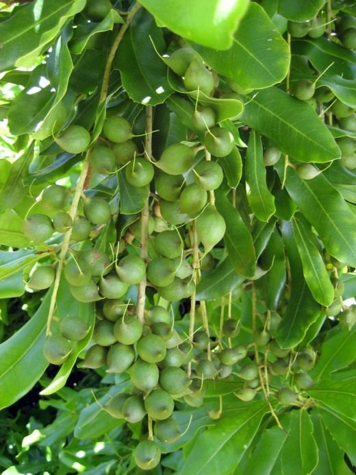 Выращиваем австралийский орех