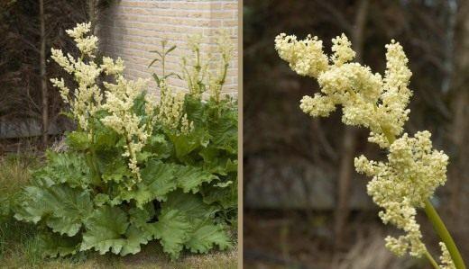 Ревень, общий вид на цветущее растение (справа) и соцветия (слева)