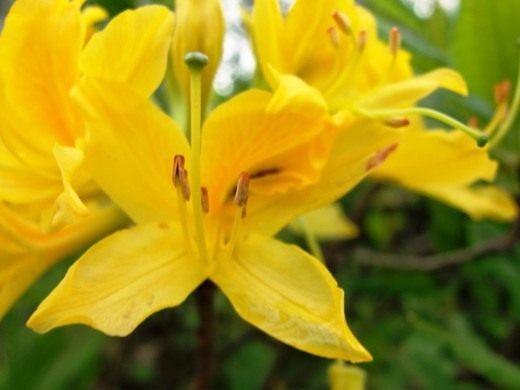 Рододендроны — величавые уроженцы