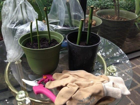 Выращивание черенков розы в домашних условиях