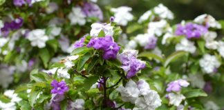 Брунфельсия южная (Brunfelsia australis)