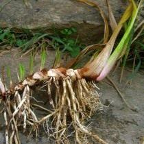 Ирный корень