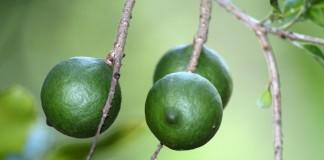 Макадамия, или Австралийский орех (Macadamia)