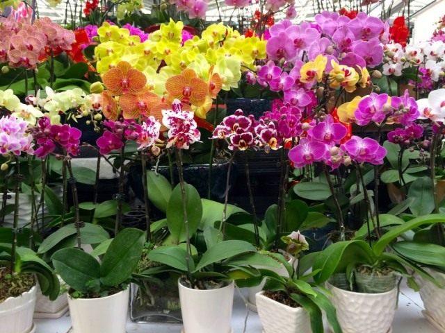 Выбор орхидей в магазине
