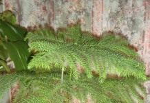 Араукария – новогодняя красавица из Южной Америки.