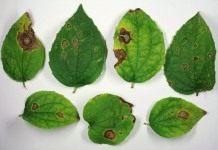 Пятна на листьях — аскохитоз