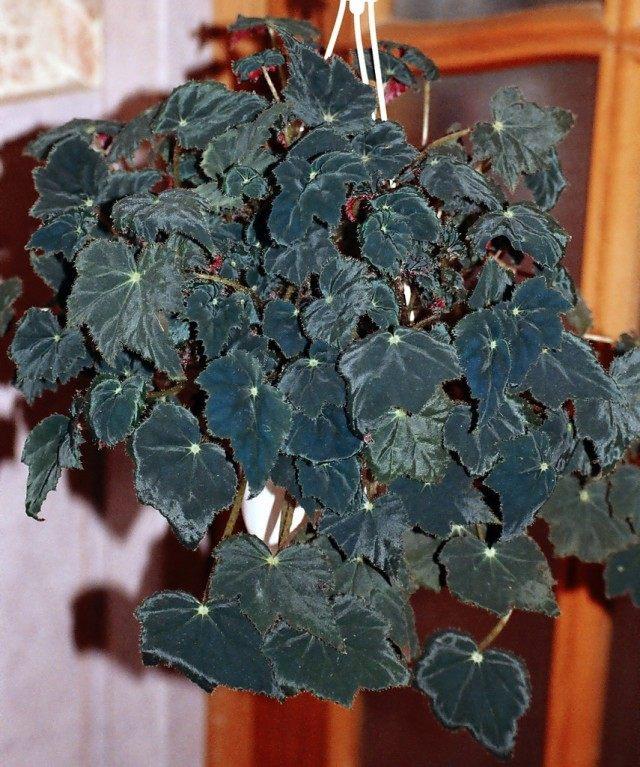 Бегония Боуера «Вифлеемская звезда» (Begonia bowerae 'Bethlehem Star')