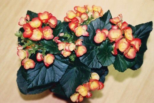 Бегония зимующая «Filur» (Begonia hiemalis 'Filur')