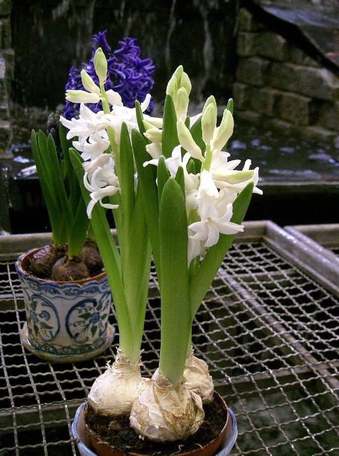 Комнатные цветы гиацинт фото
