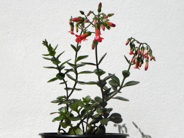 Каланхоэ Мангина (Kalanchoe manginii)