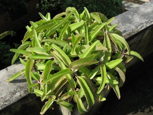 Каланхоэ перистое (Kalanchoe pinnata)
