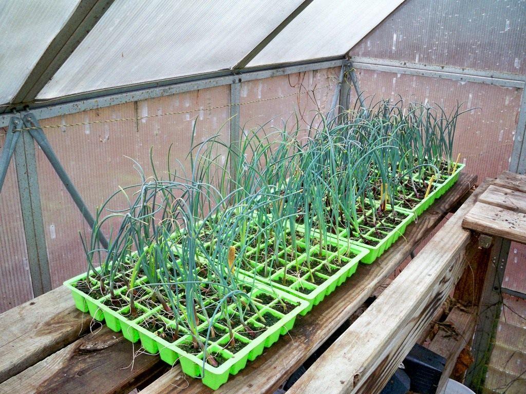 Выращивание лука-порея через рассаду 4