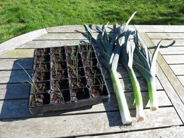 Лук-порей рассада и взрослое растение