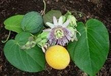 Страстоцвет, или просто — Пассифлора