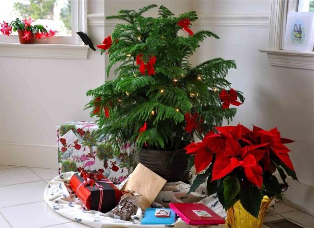 Живая новогодняя елка — восхитительная араукария