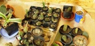 """Это моя """"школка"""" кактусов, все они выведены из черенков, способом, описанным правее."""