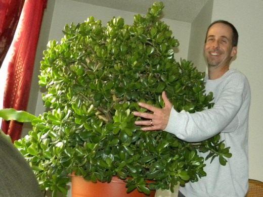 Шестилетнее Денежное дерево в слишком большом горшке.