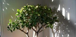 Толстянка, или Крассула (Crаssula) — «Денежное дерево»