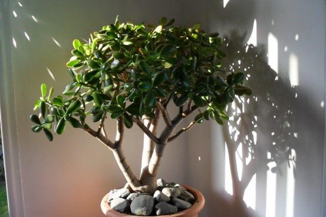 Толстянка, или Крассула (Crаssula) – «Денежное дерево»