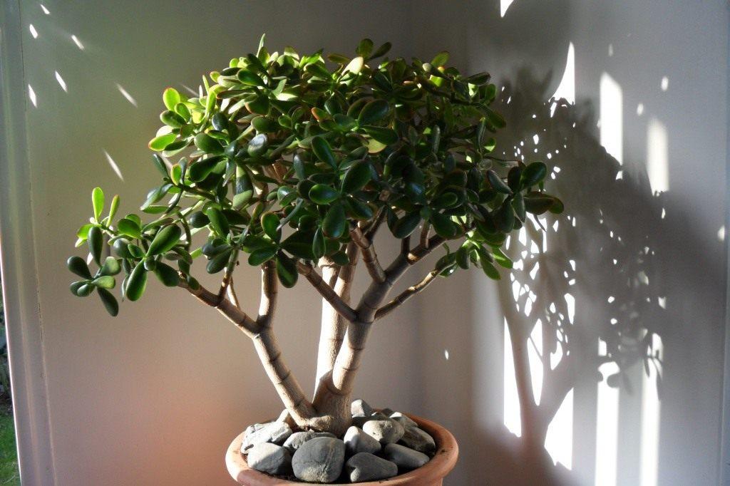 Как сделать так чтобы зацвело денежное дерево 145