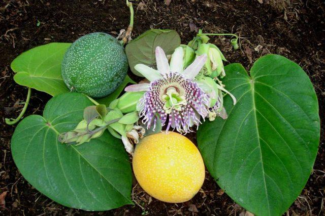 Сладкая гранадилла, или Страстоцвет язычковый, или Пассифлора лентовидная (Sweet granadilla)