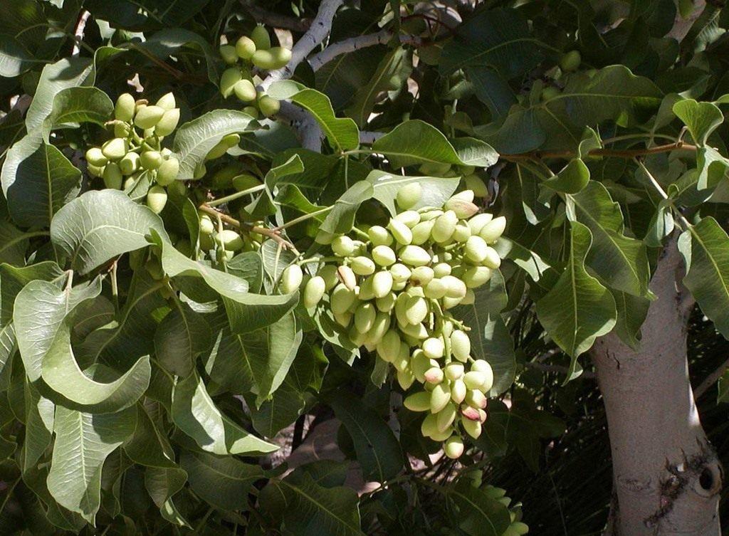 Pistachio1 Как растут настоящие орехи?