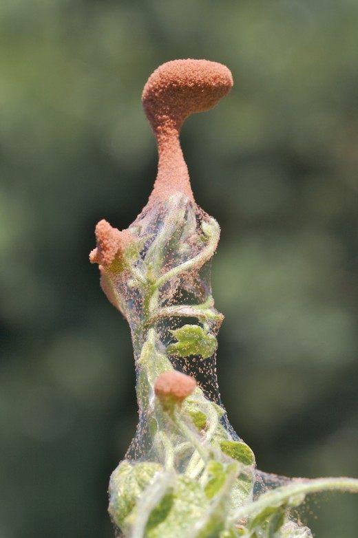 Поражение паутинным красным клещем (Spider mites)