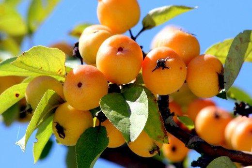 Яблоня «Golden Hornet -Золотой шершень» (Apple Tree Golden Hornet)