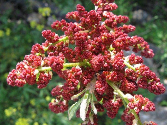 Цветки фисташкового дерева