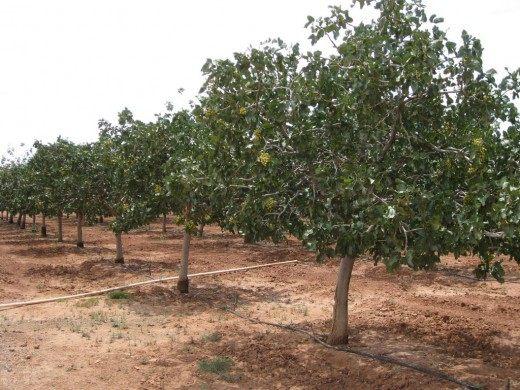 Плантация фисташковых деревьев