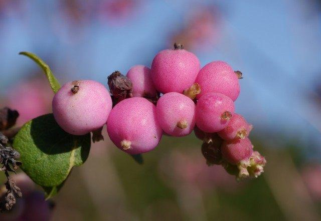 Розовые ягоды снежноягодника мелколистного (Symphoricarpos microphyllus)